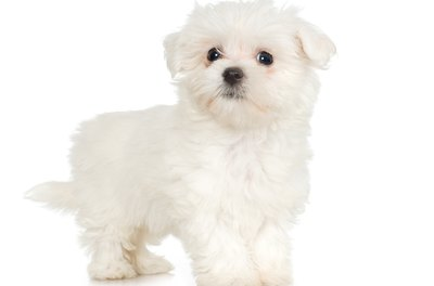 Maltese dogs are famous for their striking white coats.