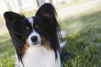 The long ears are trademarks of the papillon.
