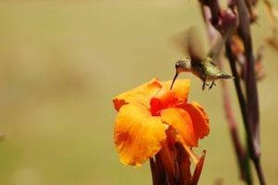 How Do Hummingbirds Help Pollination?