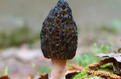 morel mushrooms, Georgia