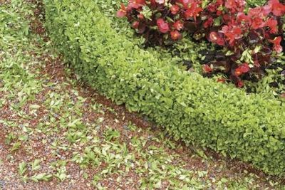 Proper growing conditions can help boxwoods resist disease.