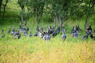 Wild turkeys visit fields to search for food throughout the year.