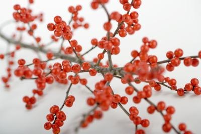 Just like pyracantha bush, holly bushes provide ornamental interest in winter.