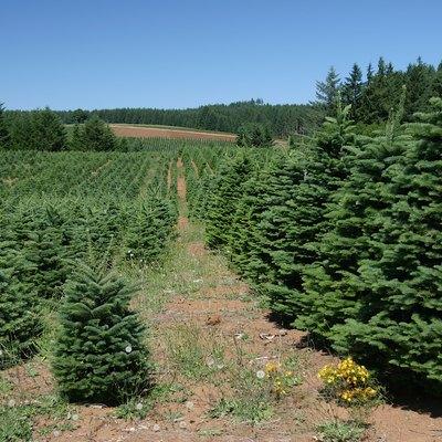 Christmas Tree Farms Near Chicago