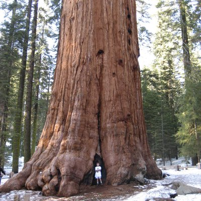 General Sherman Tree Facts   USA Today