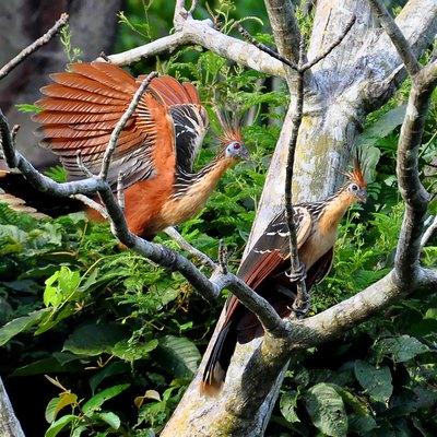 amazon rainforest animals names. opisthocomus hoazin photographed in the amazon brazil november 2010 rainforest animals names