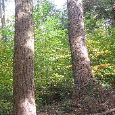 Old Growth Forest At Ricketts Glen State Park, Luzerne County,  Pennsylvania, USA.