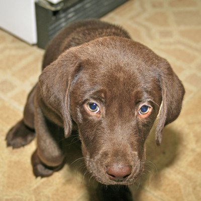 A labrador puppy will be a great addition to almost any family.