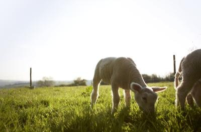A male lamb has traditionally been an important sacrifice in Judaism.