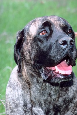 Determine Dog Breed By Brindle Coloring