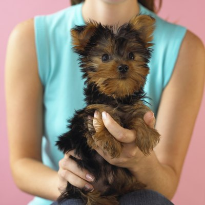 Portable and cute, Yorkshire terriers make great pets that, if properly socialized, do well with cats.
