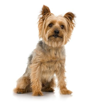 The silky is the Yorkshire terrier's slightly larger Australian cousin. Notice the family resemblance?