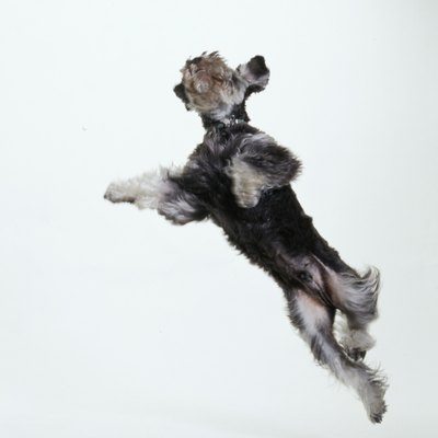 With the right diet, your schnauzer can be leaping with joy.