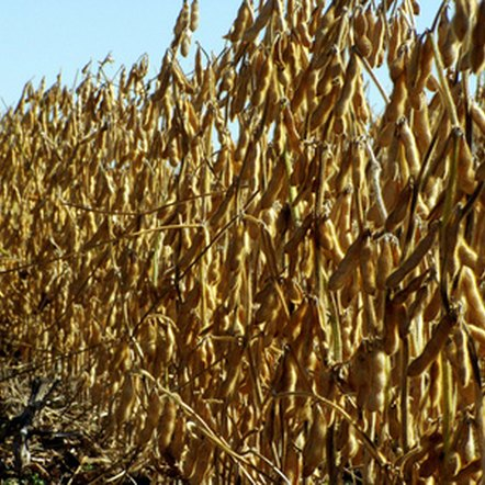 Soybeans now make up a significant part of the American diet.