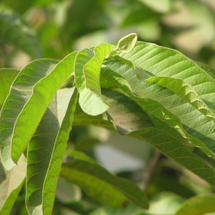 Guava leaves contain several antioxidants.