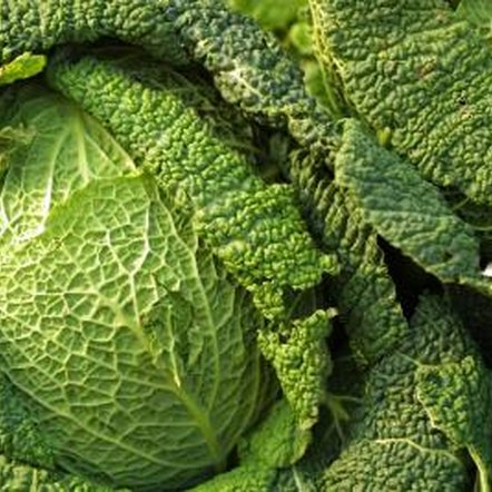 Regular fertilization is key to producing quality heads of cabbage.