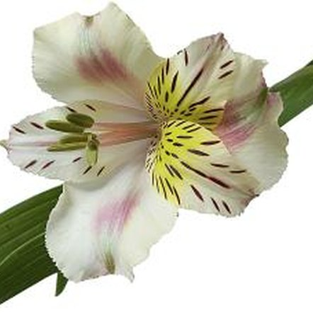 Alstroemeria flowers are beautiful additions to floral displays.