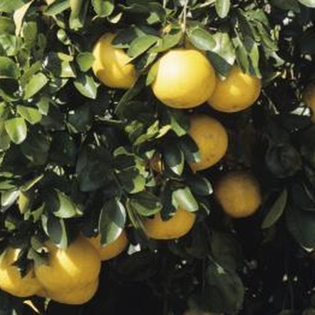Self-pollinating citrus, like the grapefruit tree, produce a large harvest.