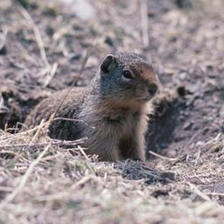 Gophers love to gnaw at the roots of fig trees.