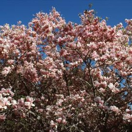 Large pink magnolia flowers signal the start of spring.