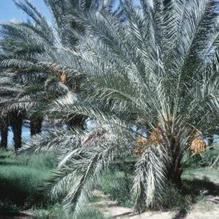 Canary Island date palms need a lot of space to grow well.