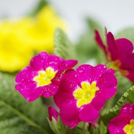 The primrose's puckered leaves form a neat rosette shape.