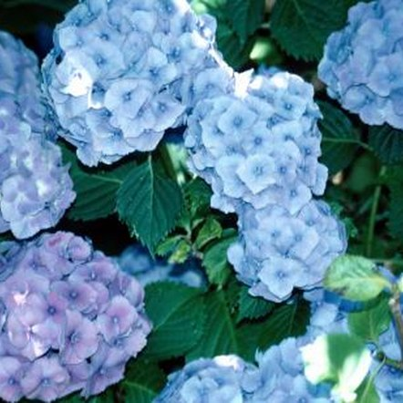 Hydrangeas bloom best in full sun to light shade
