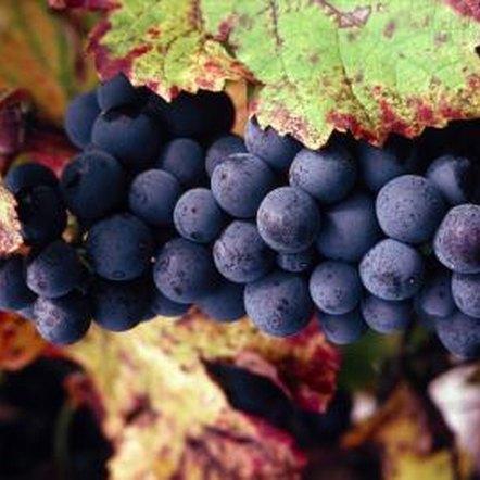 concord grape vine diseases
