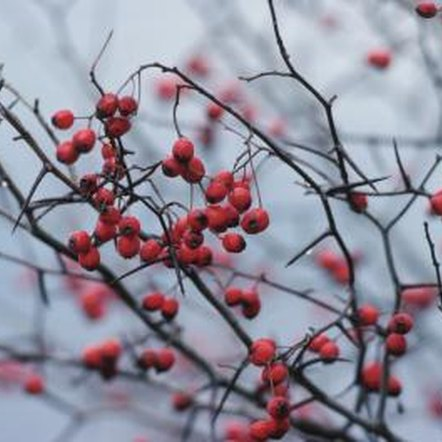 Shrubs with ornamental berries provide color and attract birds.