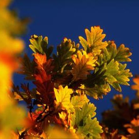 Deciduous species of oak trees produce green foliage that turns to stunning shades in the fall.