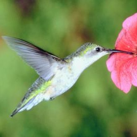 Hummingbirds feed from flowers full of nectar.
