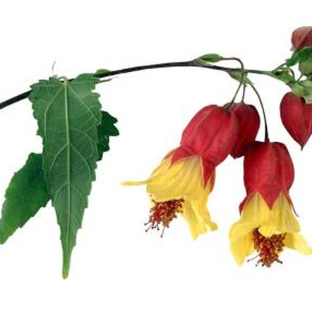 An occasional hard pruning can rejuvenate many abutilons.