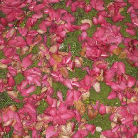 Camella blossoms are most often pink, red or white.