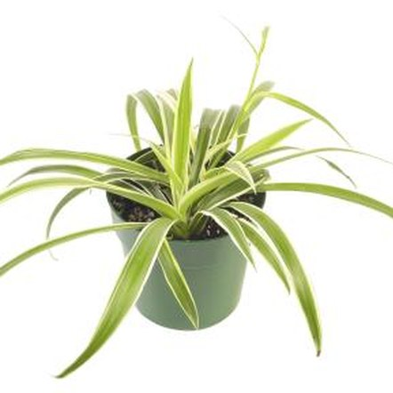 There are more than 200 varieties of spider plants, from solid green to variegated.