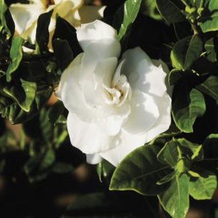 Keep gardenia leaves green with low-pH soil.