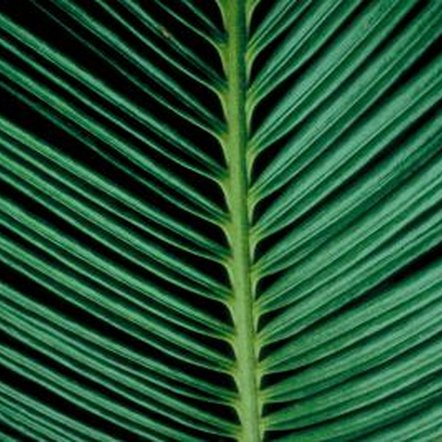 A sago palm's leaves add a touch of the tropics.