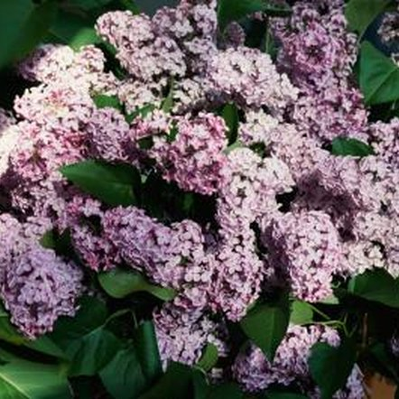 Lilacs are showy, sun-loving shrubs.