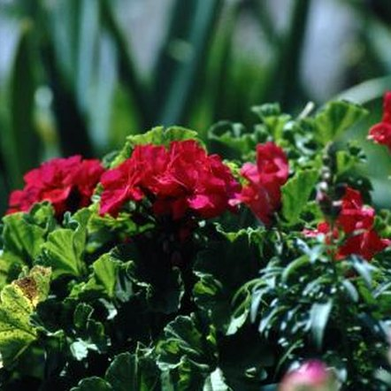 With proper care, Martha Washington geraniums provide a colorful display.