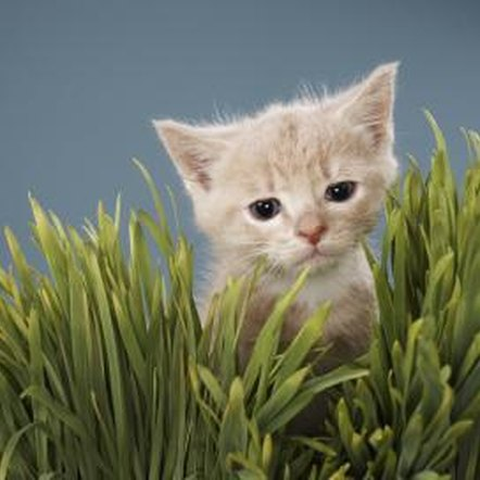Cats of all ages may chew on grass and plants.