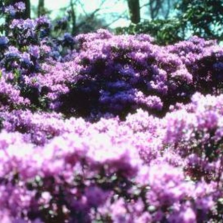 How to care for purple gem rhododendrons home guides for How to care for rhododendrons after blooming
