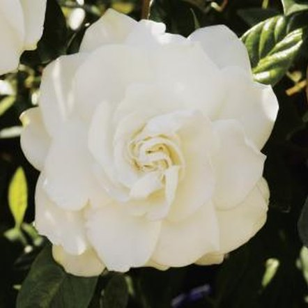 Gardenias need consistent moisture to produce high-quality blooms.