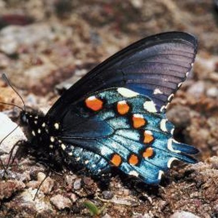 Virginia snake root is the only place the pipevine swallowtail will lay its eggs.