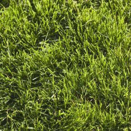 Multiple applications of grass seed ensures even coverage of the lawn.