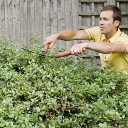 No matter where you plant the shrub, proper pruning will keep it the desired height and shape.