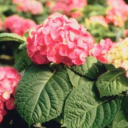 Take action to restore your hydrangea's leaves to green.