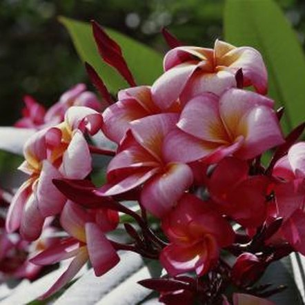 Plumeria is used to make traditional Hawaiian leis.