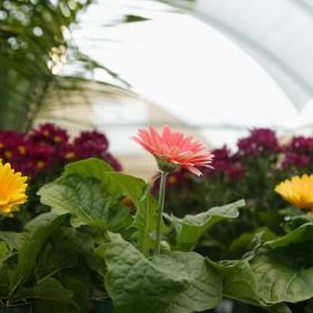 Gerbera produce solid-colored flowers in a wide range of colors.