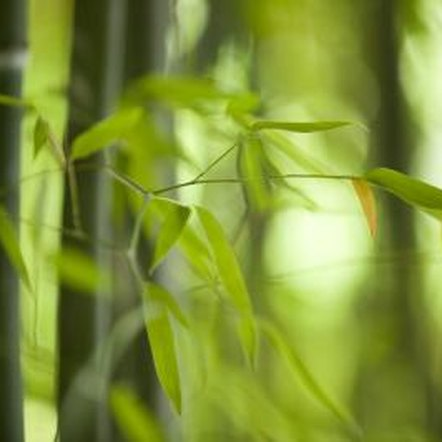 Bamboo leaves can turn brown at the tips if irrigated with fluoridated water.