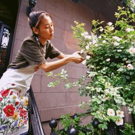 Pruning staves off rose bush diseases and pests.