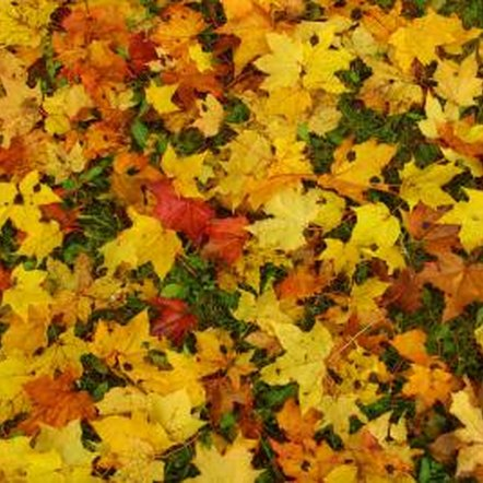 Vacuuming autumn leaves is an efficient alternative to raking or blowing them into a pile.